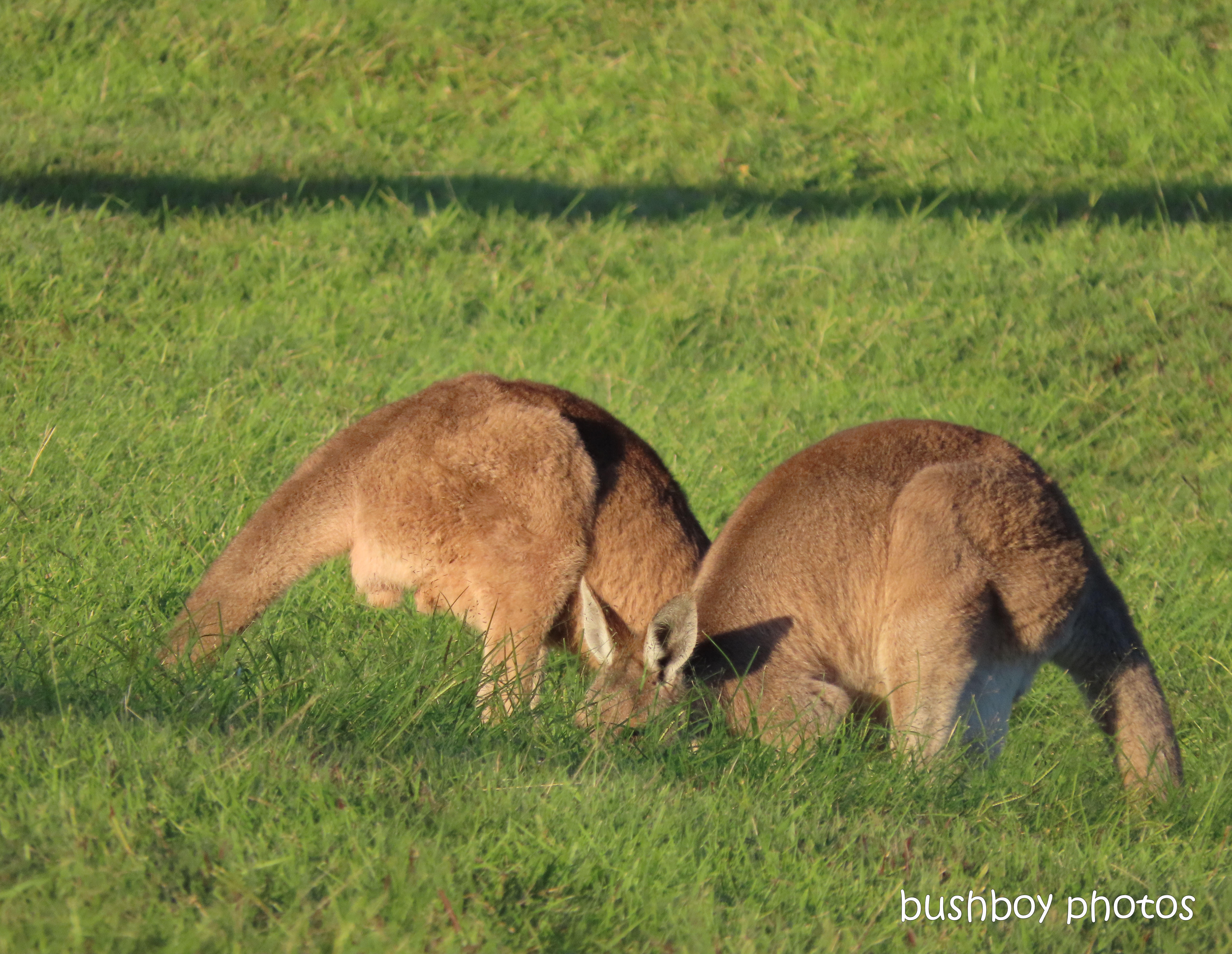 190619_blog_challenge_two_kangaroos