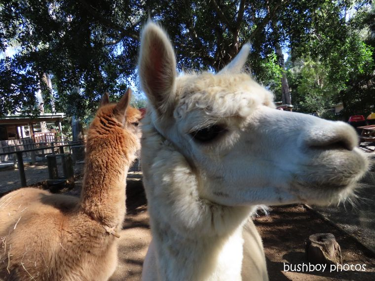 190619_blog_challenge_two_llamas