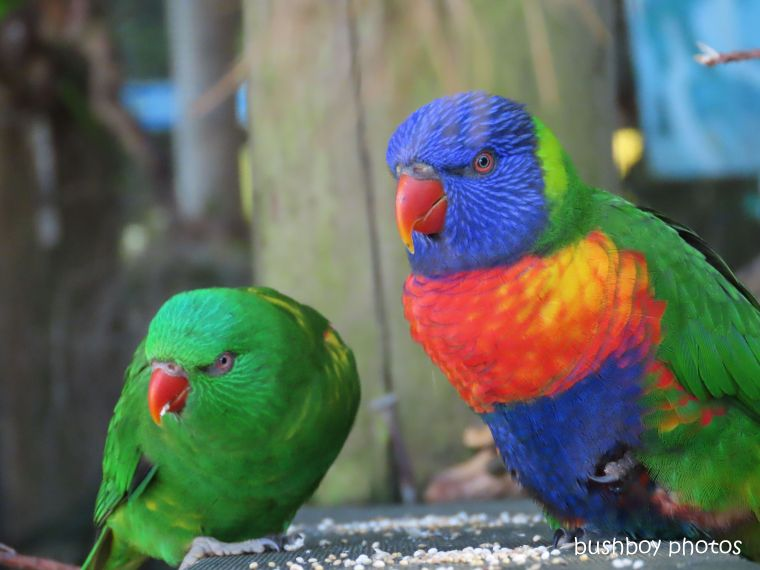 190619_blog_challenge_two_parrots_rainbow_lorikeet_scaly_breasted_lorikeet