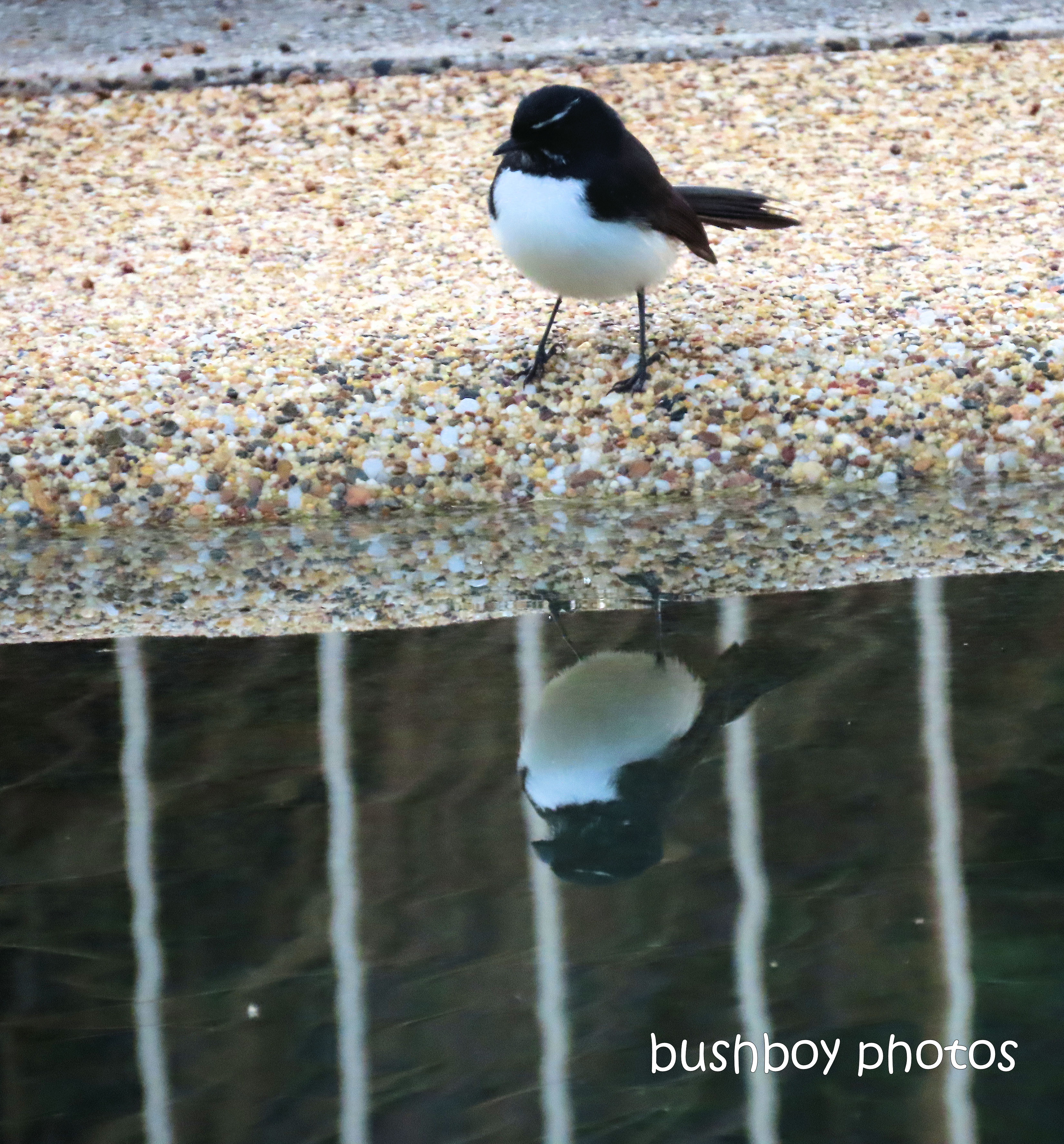 190619_blog_challenge_two_willie_wagtail_reflection