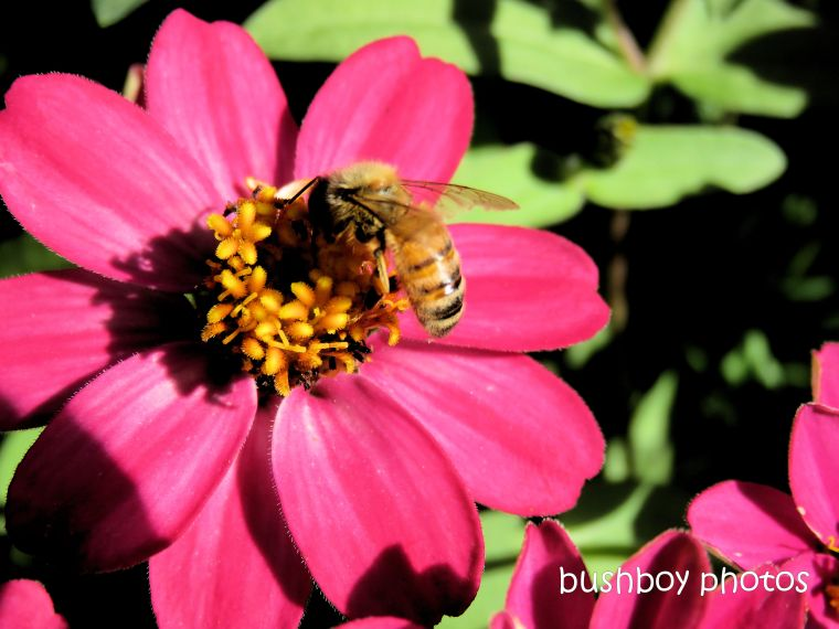 190623-blog-challenge-silent-sunday-bee-zinnia