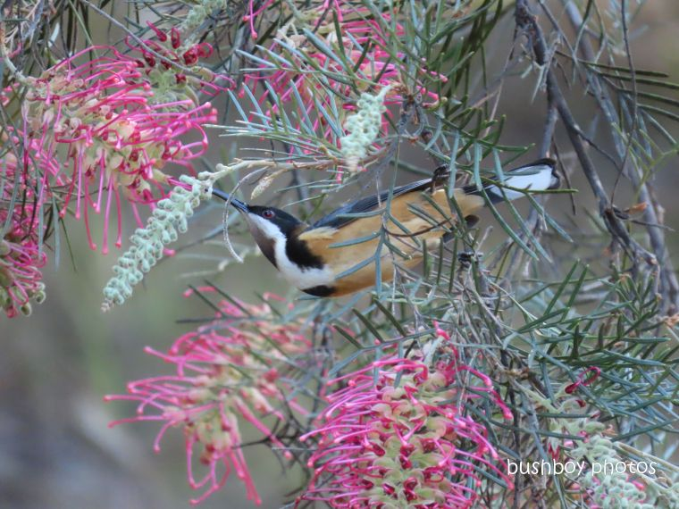 eastern_spinebill_grevillea_garden_home_jackadgery_june 2019