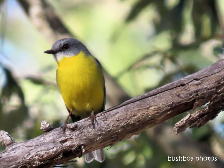 eastern_yellow_robin_garden_home_jackadgery_june 2019