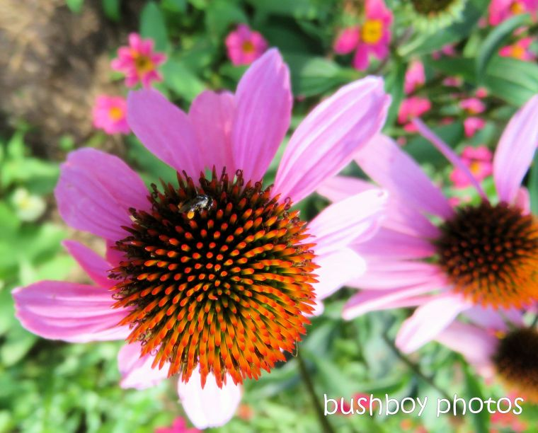 flower_bee_native_echinacea_named_caniaba_may 2019