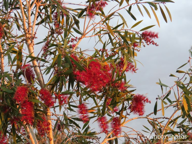 flower_bottlebrush_red_sunset_named_caniaba_may 2019