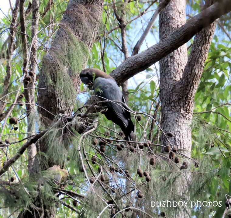 glossy_black_cockatoo_she_oak_eating_named_home_jackadgery_may 2019