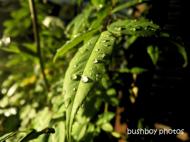 leaf_water_drops_rain_named_caniaba_may 2019