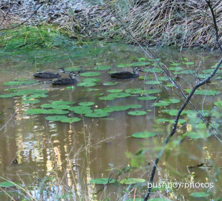 pacific_black_ducks_dam_home_jackadgery_june 2019