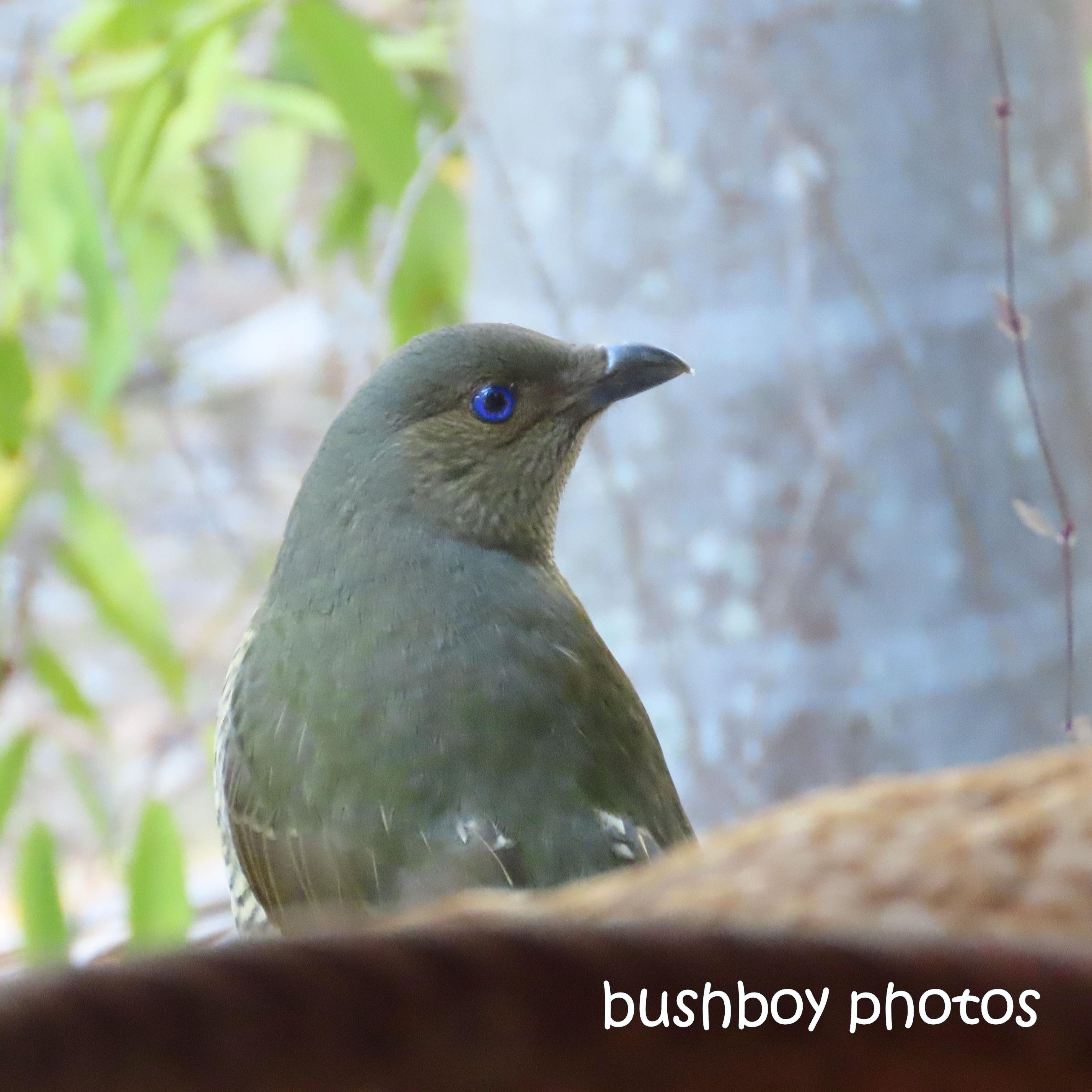 190712_blog_challenge_blue_satin_bowerbird_judy_blue_eyes