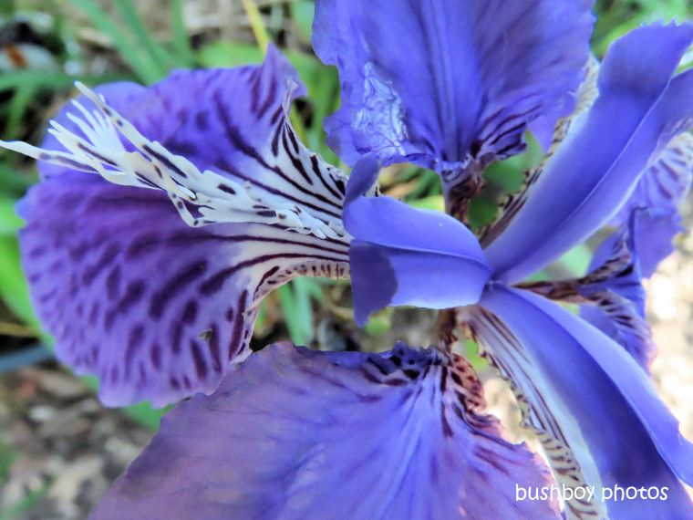 190714_blog_challenge_detail_bearded_iris2