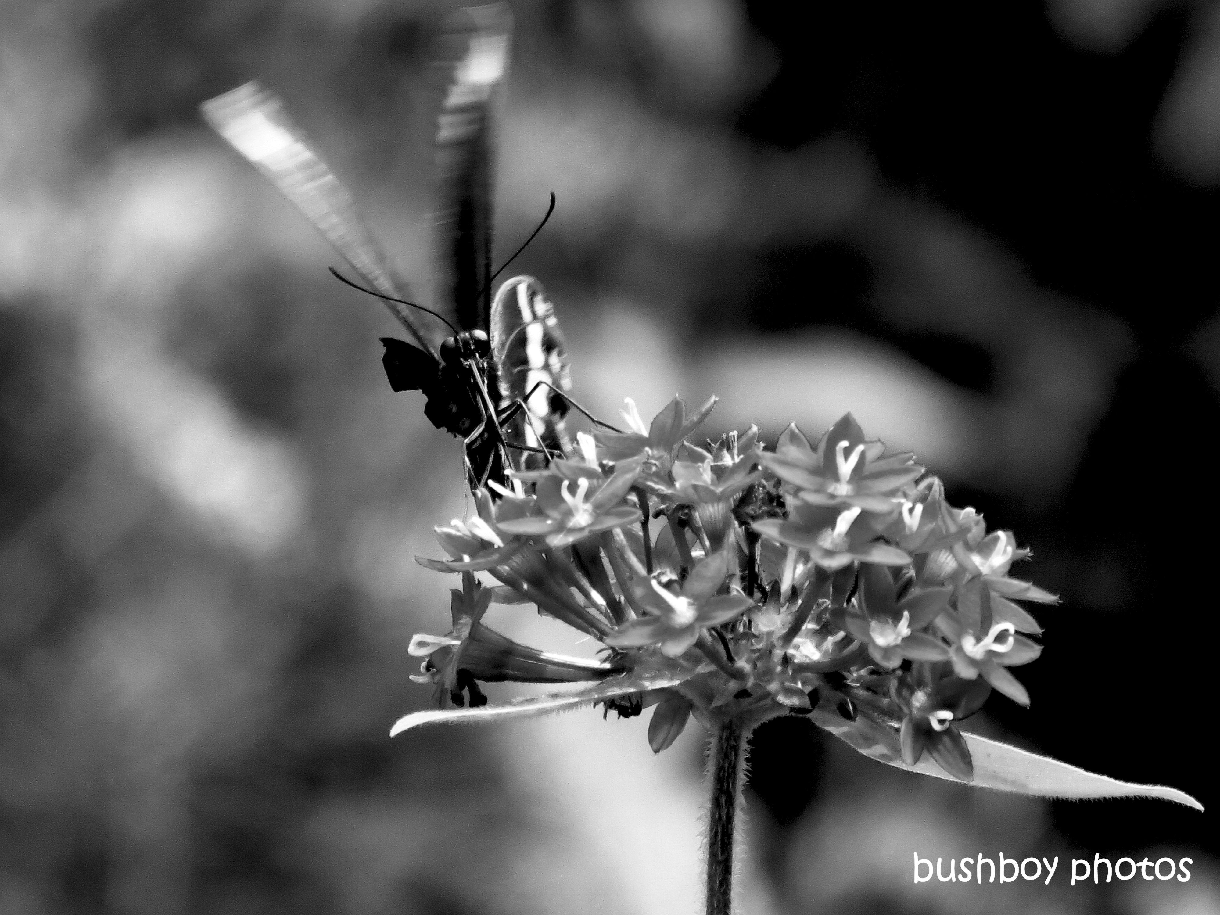 190726_blog_challenge_blackandwhite_anything_flies_common_crow_butterfly