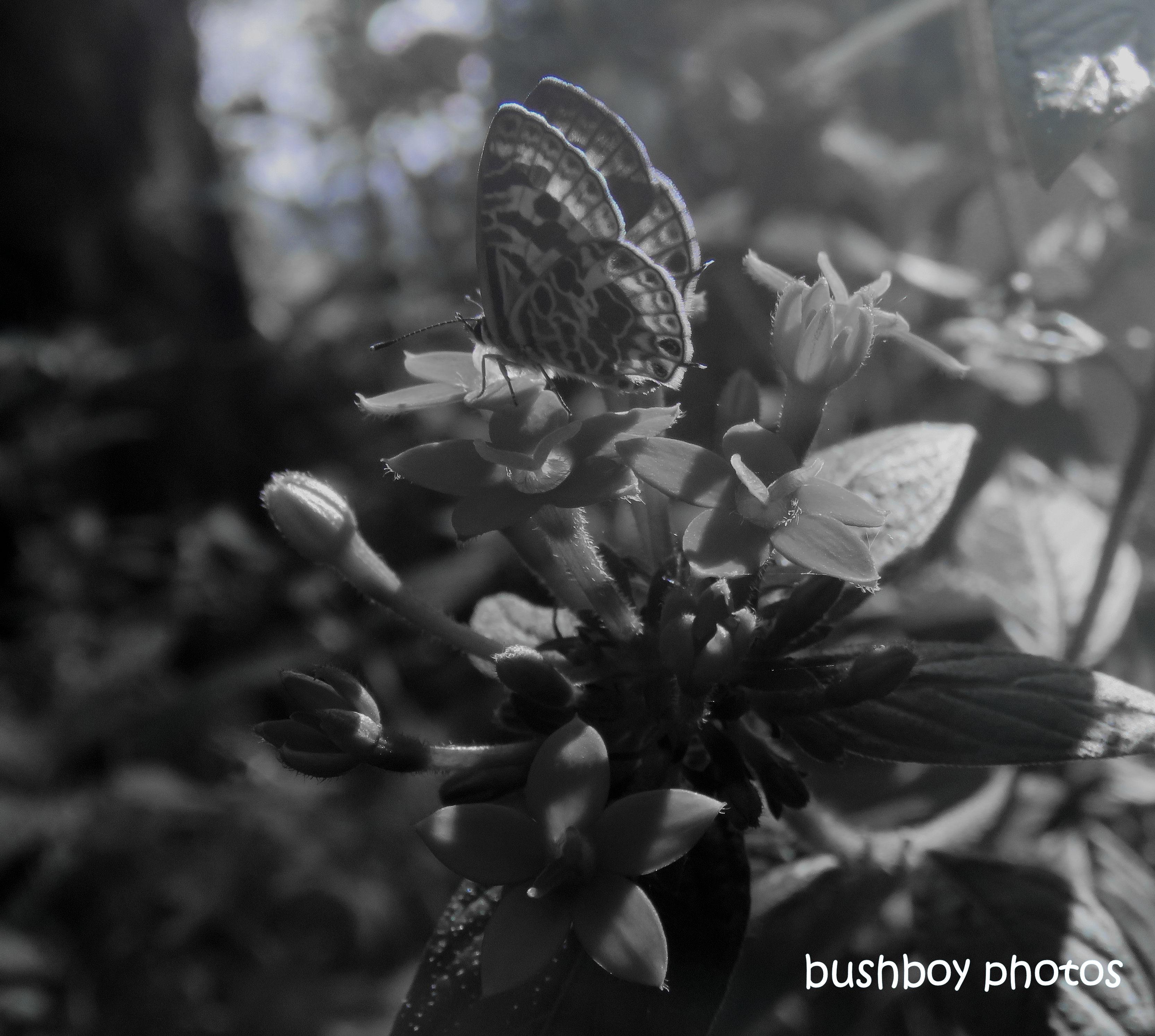 190726_blog_challenge_blackandwhite_anything_flies_zebra blue_butterfly
