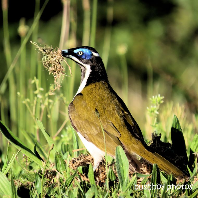 190730_blog_challenge_blue_blue_faced_honeyeater_nest_material