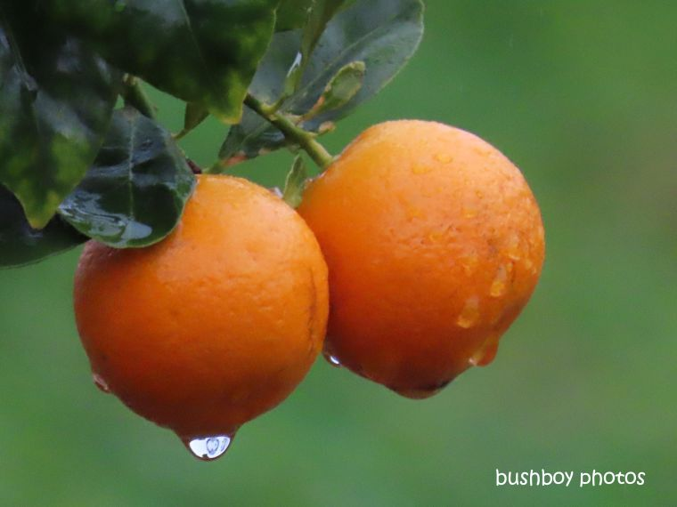 cumquat_water_drop_garden_named_caniabajune 2019