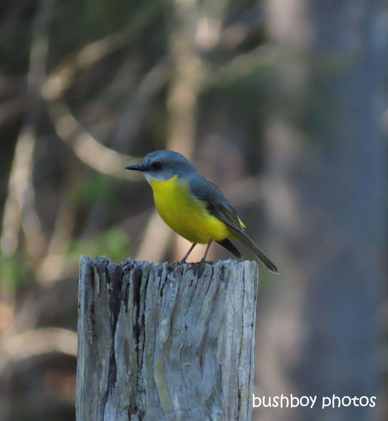 eastern_yellow_robin_named_home_jacadgery_june 2019