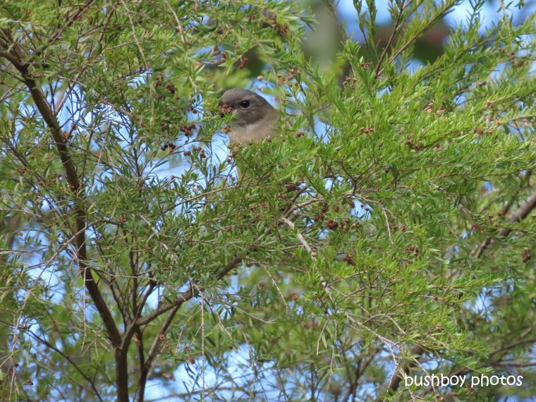 grey_shrike_thrush_named_home_jackadgery_june 2019