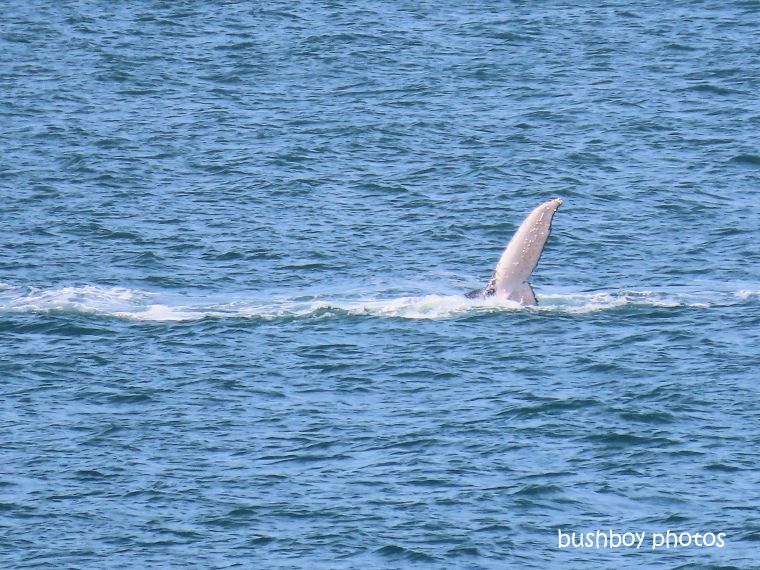 humpback_whale_fin1_named_ballina_headland_june 2019