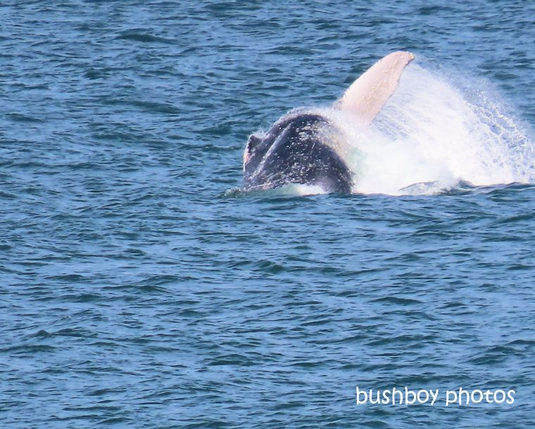humpback_whale_tail_splash1_named_ballina_headland_june 2019