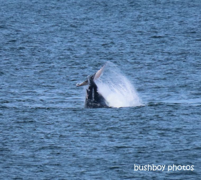 humpback_whale_tail_splash2_named_ballina_headland_june 2019