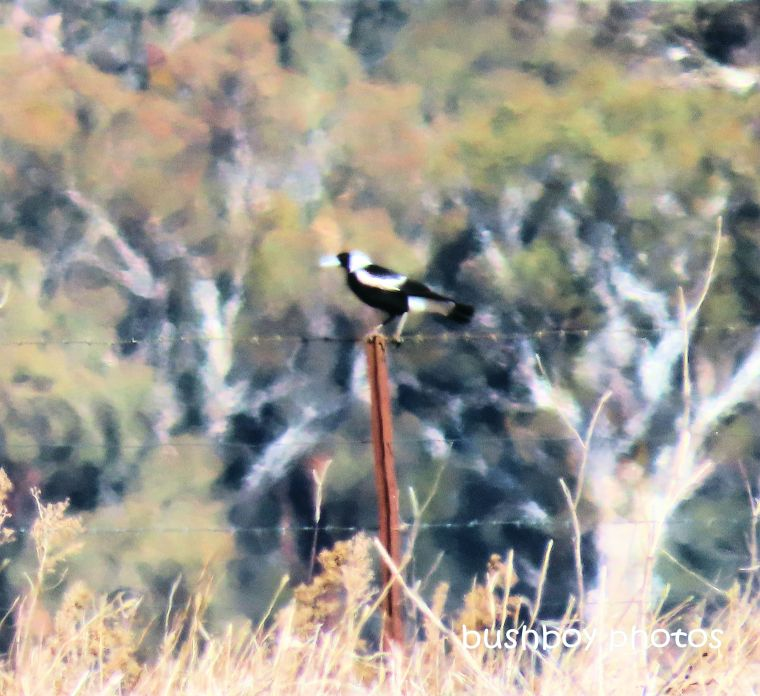 magpie_post_art_named_inverell_june 2019