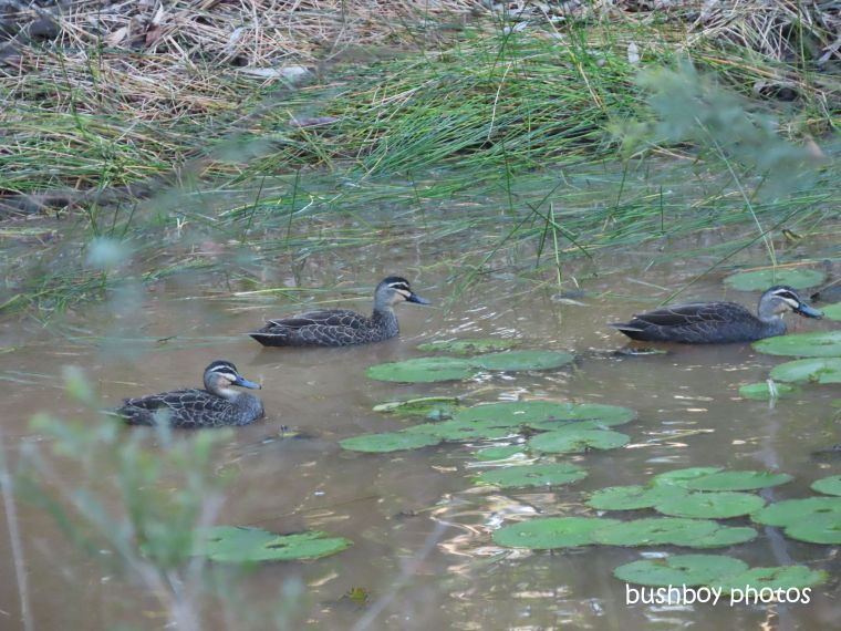 pacific_black_ducks_dam_named_home_jackadgery_june 2019