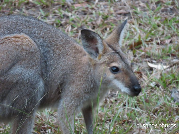 red-necked_wallaby_named_home_jackadgery_june 2019