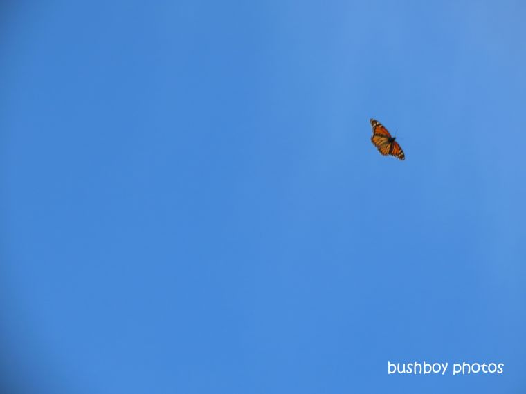 wanderer_butterfly_flying_named_lismore_june 2019