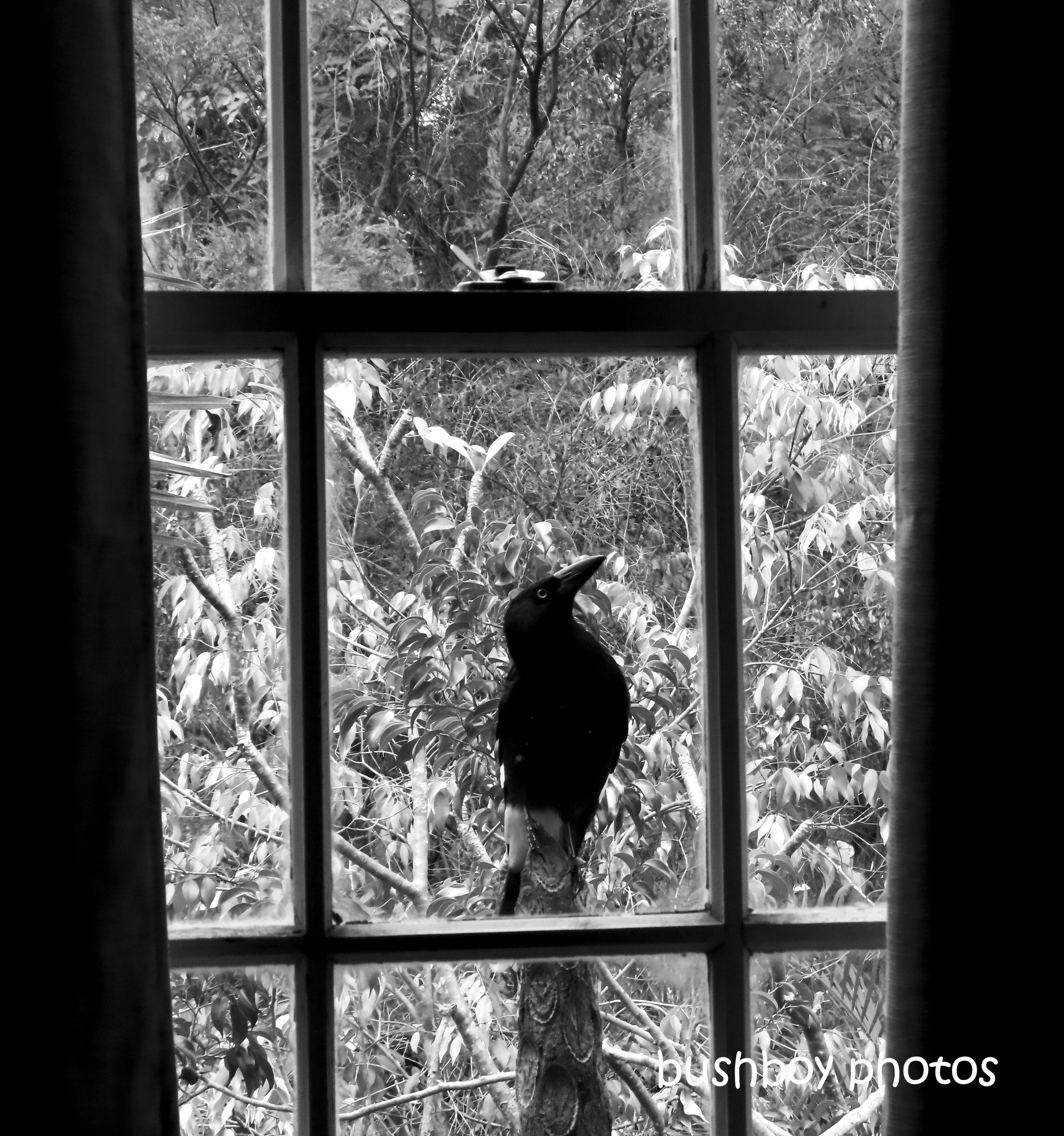 190816_blog_challenge_blackandwhite_currawong_window