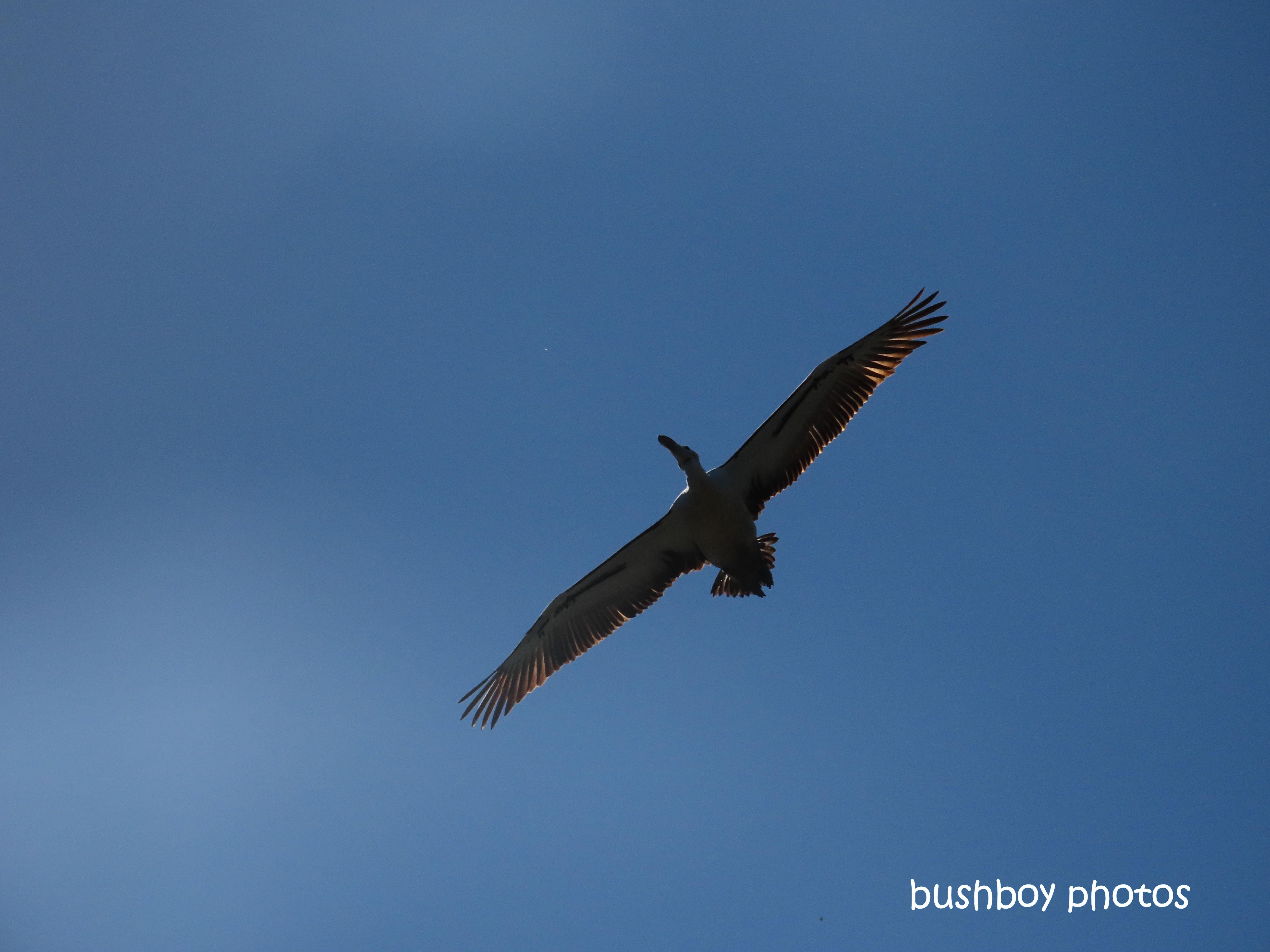 190818-blog-challenge-silent-sunday-pelican-flying-lismore-tip