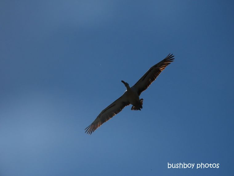 190818-blog-challenge-silent-sunday-pelican-flying-lismore-tip