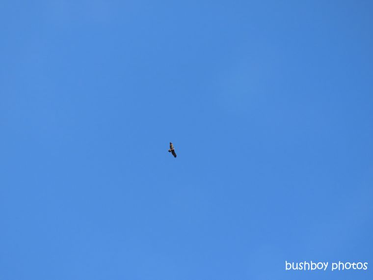 190828_blog_challenge_quote_looking_up_wedged-tailed_eagle1