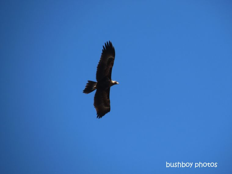 190828_blog_challenge_quote_looking_up_wedged-tailed_eagle2