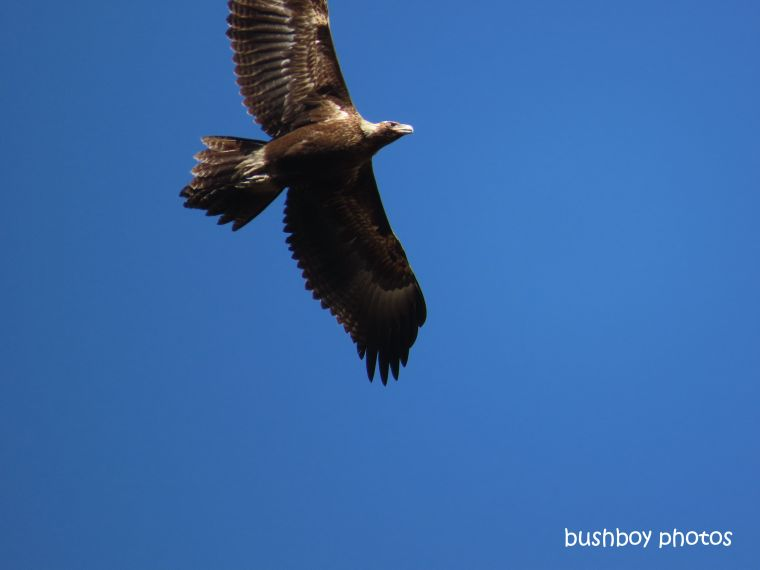 190828_blog_challenge_quote_looking_up_wedged-tailed_eagle3