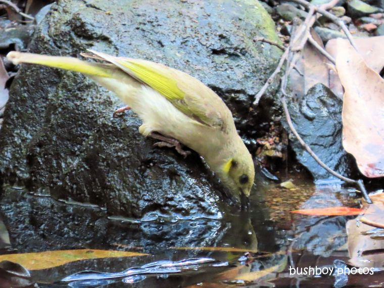190829_blog_challenge_reflections_fucous_honeyeater_waterhole_jackadgery