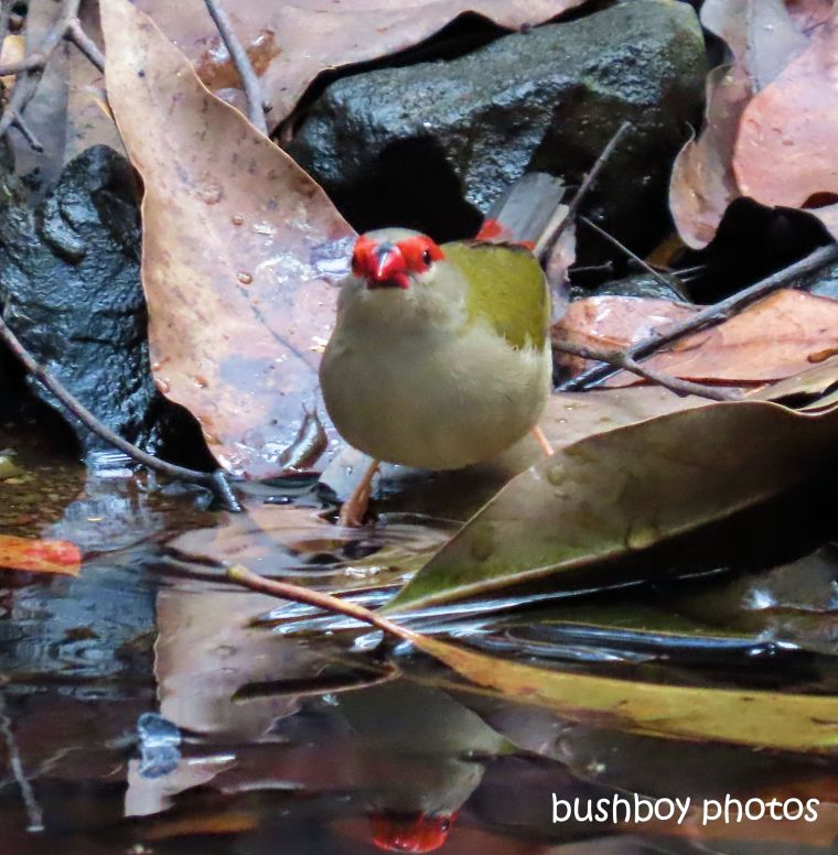 190829_blog_challenge_reflections_red-browed_firetail_finch_waterhole_jackadgery
