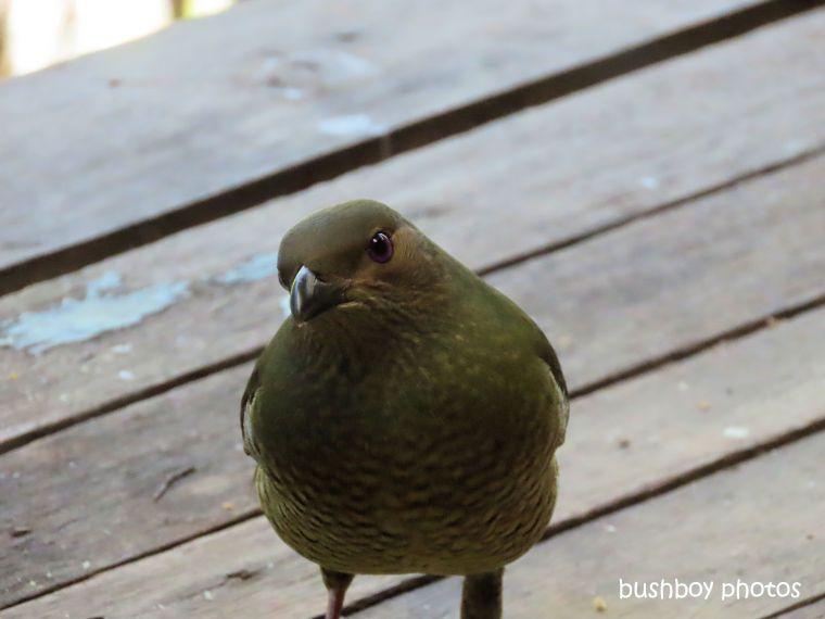 bowerbird_female_verandah_home_jackadgery_july 2019