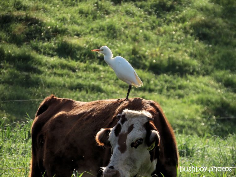 egret)cattle_standing_cow_farm_caniaba_july 2019