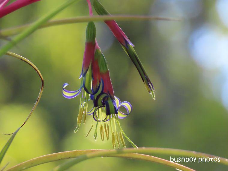 flower_bromiliad_billbergia_nutans_home_jackadgery_july 2019