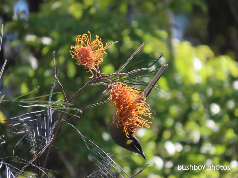 grevillea_lewins_honeyeater_garden_home_jackadgery_july 2019