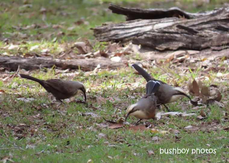 grey_crowned_babblers_three_home_jackadgery_july 2019