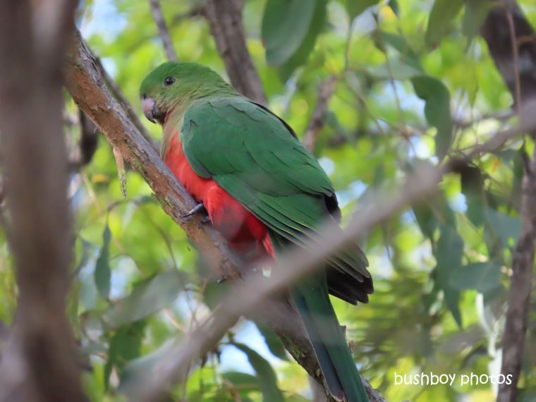 king_parrot_female_garden_home_jackadgery_july 2019