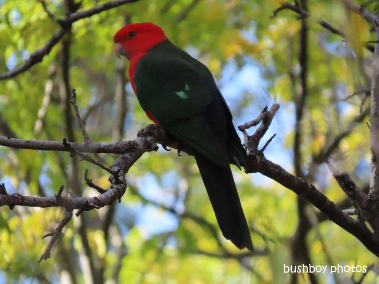 king_parrot_male_garden_home_jackadgery_july 2019
