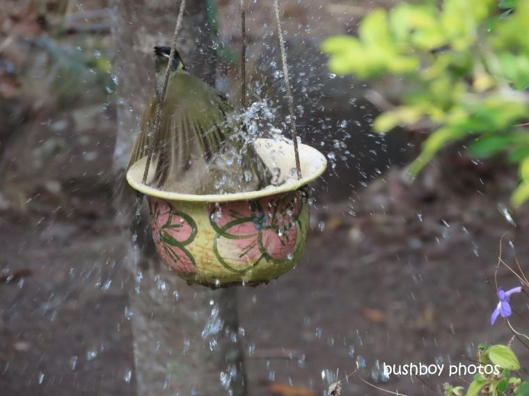 lewins honeyeater_bath_birdbath5_named_home_jackadgery_august 2019