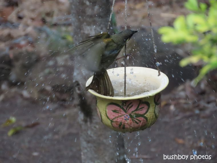 lewins honeyeater_bath_birdbath6_named_home_jackadgery_august 2019