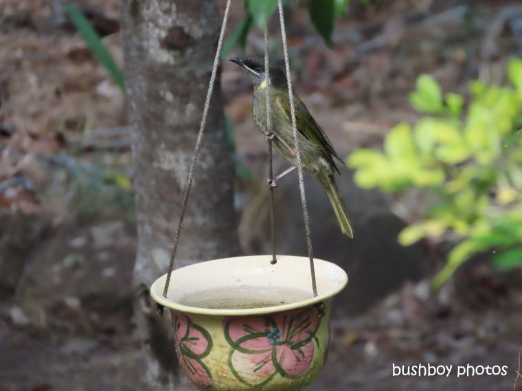 lewins honeyeater_bath_birdbath7_named_home_jackadgery_august 2019