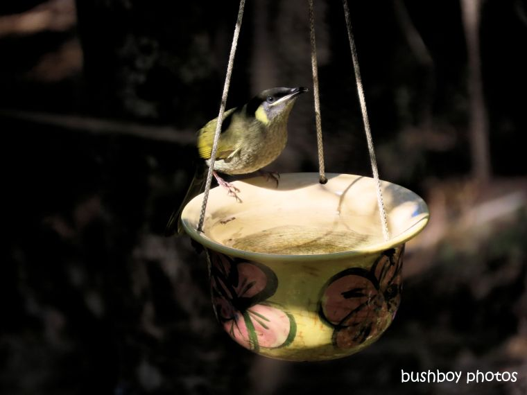 lewins_honeyeater_hanging_pot_july 2019