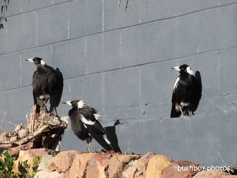 magpies_wall_sun_nelson_bay_july 2019