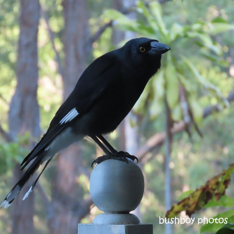 pied_currawong_verandah_ball_home_jackadgery_july 2019