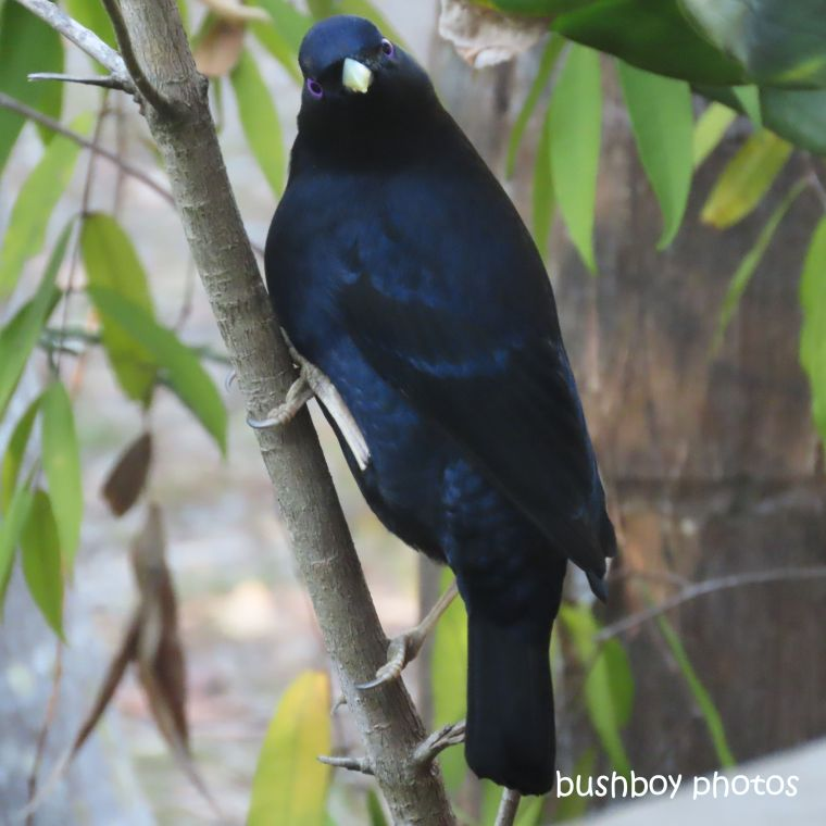 satin_bowerbird_male_looking_garden_home_jackadgery_july 2019