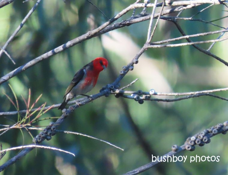 scarlet_honeyeater_home_jackadgery_july 2019